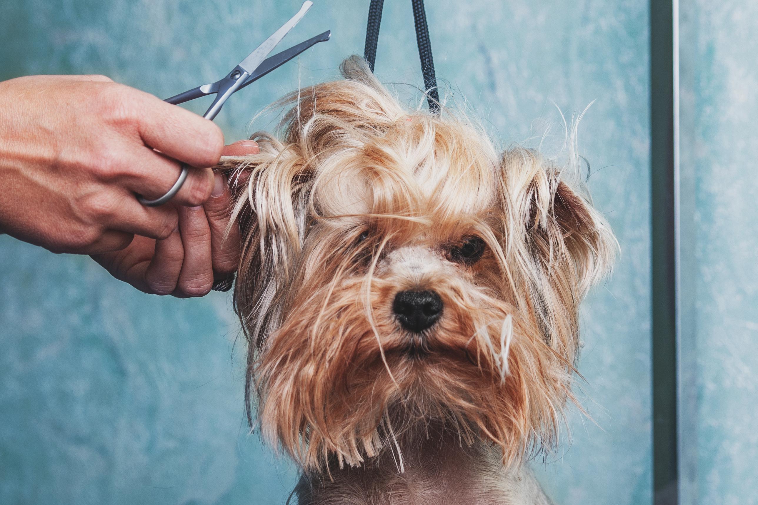 Hund scheren – Ja oder Nein?