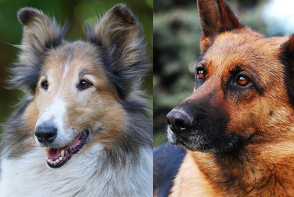 Strongheart, Rin Tin Tin und Lassie