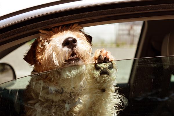 Achtung Sommer: Wie lange darf der Hund im Auto bleiben?