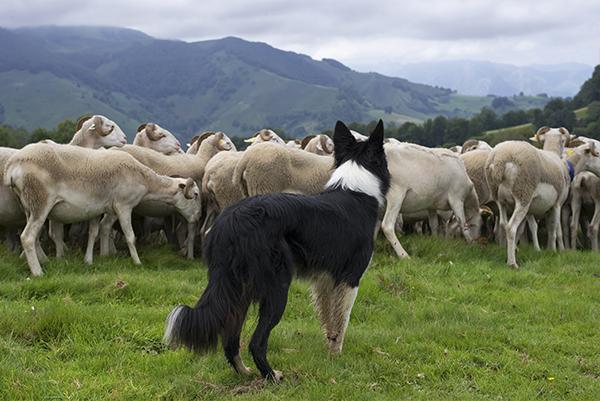 Oh, eine Schafherde – Oh, ein Herdenschutzhund